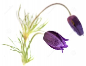 pulsatilla-natural-cold-remedies