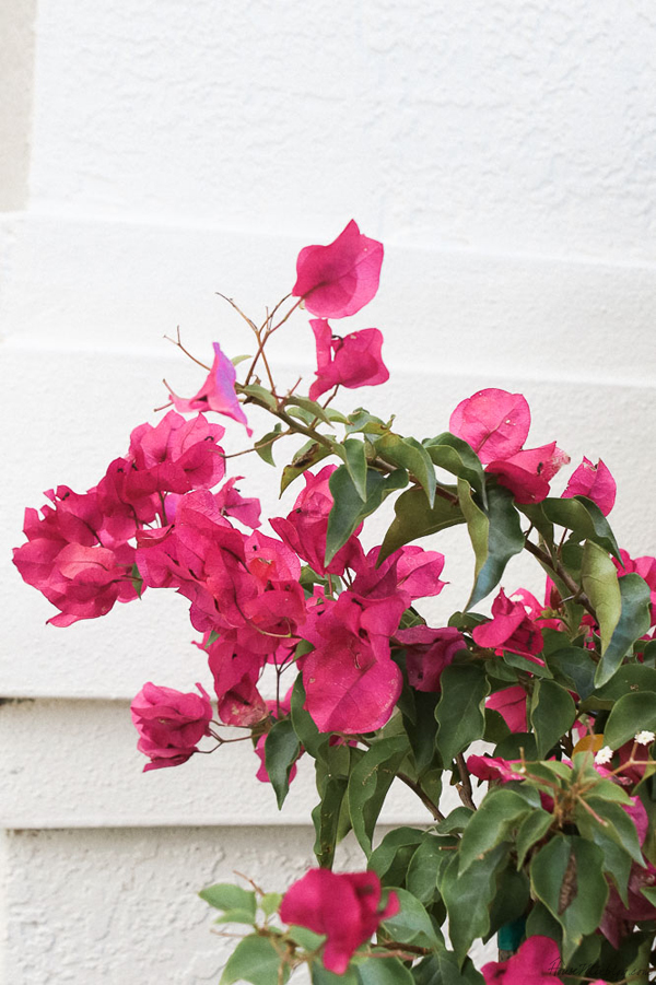 Growing bougainvillea on the side of a house