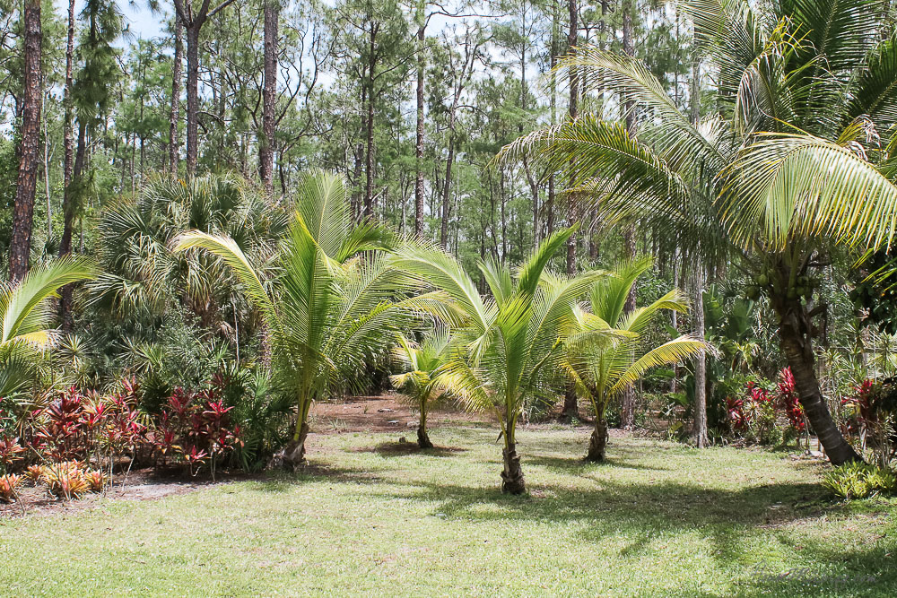 Patio, pool and lanai decor ideas on a budget-growing palm trees for hammocks