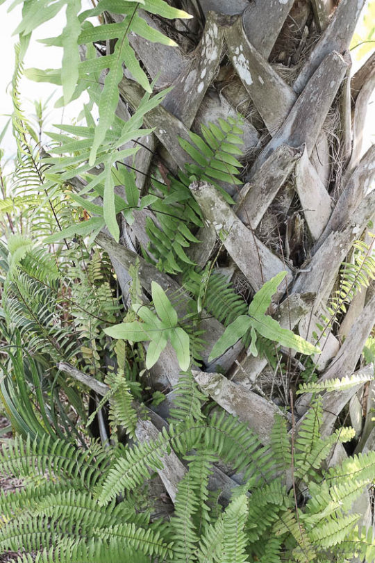 ferns growing on palm tree