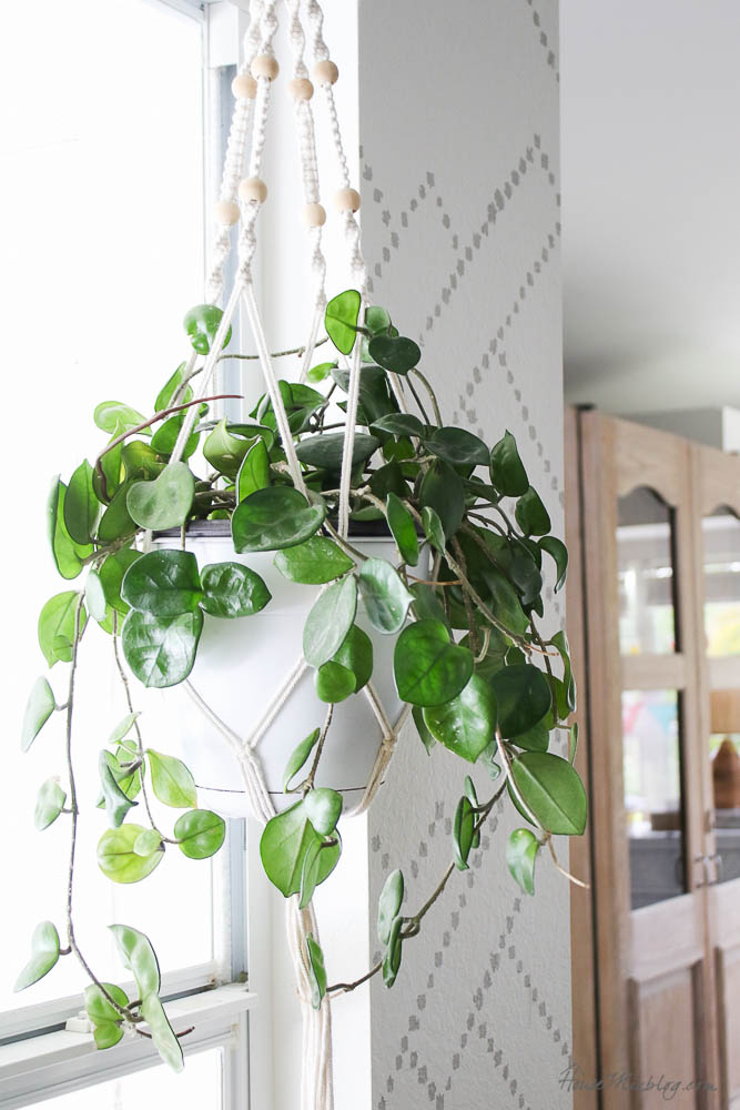 Easy to care for plants - hoya-